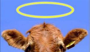 sacred_cow (300x173)