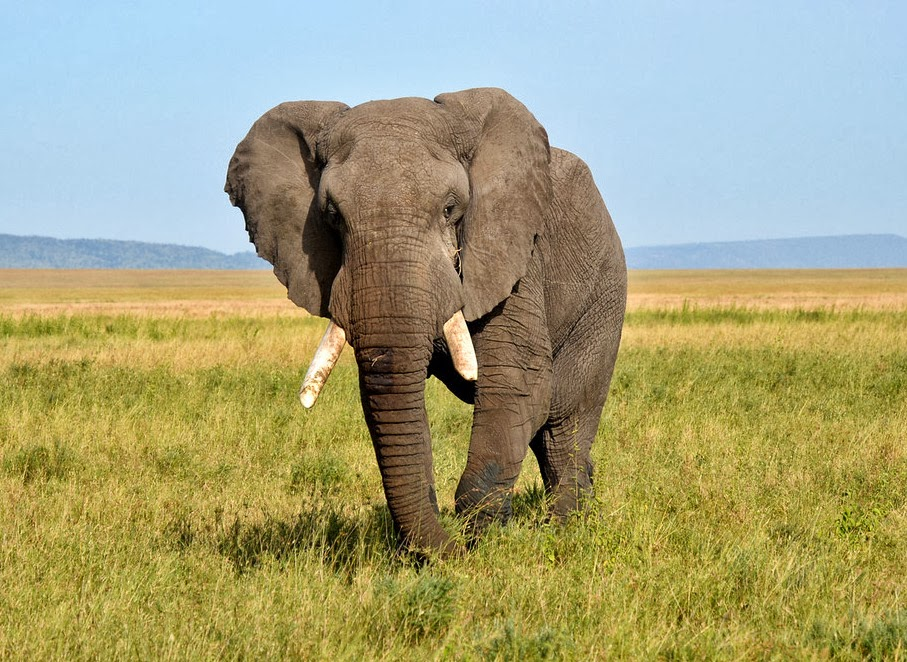 Saving elephants with the Wildlife Conservation Society